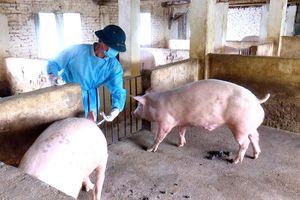 Bước tiến phòng, chống bệnh Dịch tả lợn châu Phi
