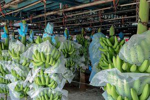 TTC Sugar (SBT) xuất khẩu lô chuối Nam Mỹ đầu tiên sang Hàn Quốc