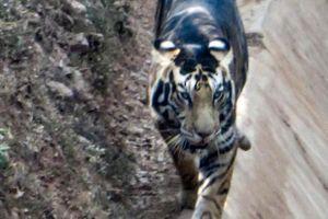 Bất ngờ trước hình ảnh về một trong 6 con hổ đen vô cùng hiếm trên thế giới