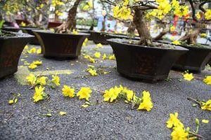 Mai Tết bán ế ẩm, chủ vườn tiếc 'đứt ruột' cắt bỏ hoa mai chở về quê