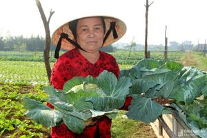 Nghệ An: Giá rau dịp Tết thấp kỷ lục, người dân chẳng buồn thu hoạch