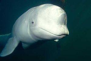 Phát hiện cá voi biết giả tiếng người