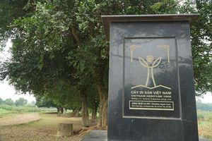 Tận mắt xem rặng duối cổ hơn 1.000 năm tuổi ở Hà Nội