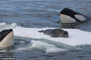 Xem Cá voi sát thủ 'lập mưu' săn mồi