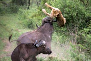 Mãi là huynh đệ tốt, trâu rừng không màng nguy hiểm, húc văng con sư tử lên không trung giải cứu bạn mình