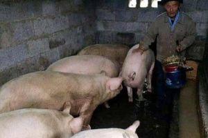 Lão nông liên tục bị mất lợn nhưng không thể tìm ra thủ phạm, kết luận của cảnh sát khiến ông lập tức chuyển nhà