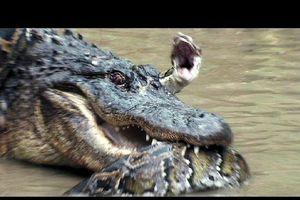Trận chiến căng não giữa hai 'kỳ phùng địch thủ' trăn khổng lồ và cá sấu