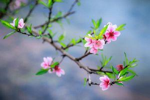 Tại sao những loại hoa này lại 'đại diện' cho mùa Xuân?