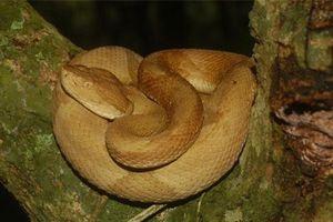 Giải mã bí ẩn loài rắn lục đầu giáo vàng có nọc độc kinh hoàng