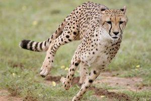 Động vật mắt càng to, chạy càng nhanh