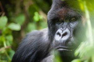 Khách du lịch chụp ảnh tự sướng có thể lây Covid-19 cho khỉ đột