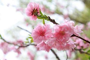 Hoa đào tượng trưng cho thuần khiết, bất tử, ngừa ung thư, tiểu đường tăng miễn dịch…