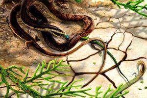 Hóa thạch rắn 4 chân lâu đời nhất ở Brazil