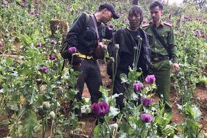 Lai Châu: Phát hiện gần 900 cây thuốc phiện được trồng trên rừng đầu nguồn