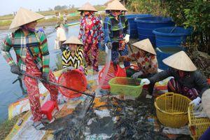 Nông dân Bạc Liêu thu hoạch vụ tôm đầu năm 'trúng mùa, trúng giá'