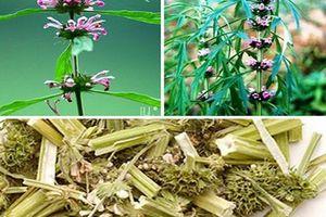 Các bài thuốc từ cây ích mẫu