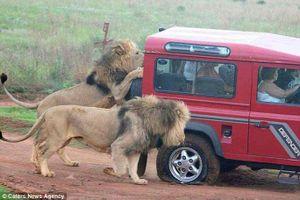 Thót tim trước cảnh sư tử vây ôtô, đòi ăn thịt du khách