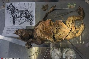Xác ướp chó cổ đại 12.400 tuổi ở vùng Siberia