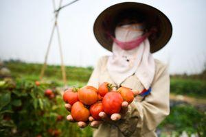 Siêu thị vào cuộc giải cứu cà chua, bắp cải tỉnh Hải Dương