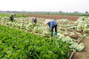 Hà Nội: Vì sao nông sản ở huyện Mê Linh rớt giá?