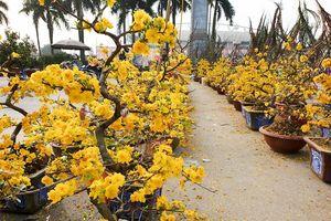 1001 thắc mắc: Chăm sóc hoa mai sau Tết, có khó không?
