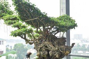 Mãn nhãn những cây sanh thế 'lạ' khiến nhiều đại gia chơi cây cảnh săn lùng