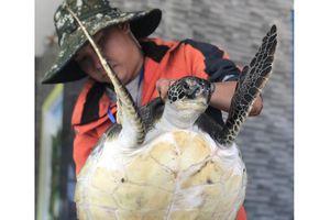 Quảng Nam: Thả về biển cá thể rùa nặng 10,5kg