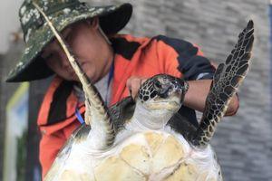Ngư dân Quảng Nam bàn giao một cá thể rùa biển nặng hơn 10kg