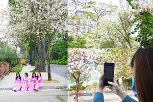 Đẹp nao lòng mùa hoa ban trên đường phố Hà Nội
