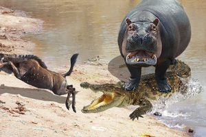 Kịch tính như phim hành động, đàn hà mã liên thủ tấn công đàn cá sấu để giải cứu con linh dương đầu bò