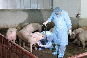 Cuối quý II-2021, Việt Nam sản xuất thương mại vaccine dịch tả lợn châu Phi