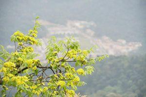 Đại lão mai bung nở, nhuộm vàng cả dãy núi Yên Tử