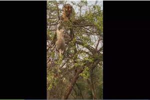 Hổ đói leo cây tóm 'trượt' chú khỉ thông minh