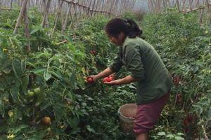 Cao Bằng giá rau rẻ nông dân không buồn thu hoạch