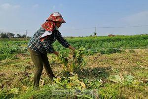 Rau ế ẩm, nông dân ngấn lệ đào bỏ làm thức ăn cho gia súc