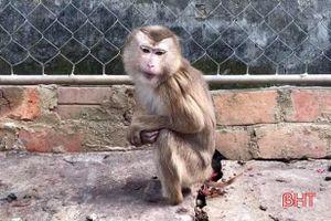 Vườn Quốc gia Vũ Quang tiếp nhận cá thể khỉ đuôi lợn quý hiếm
