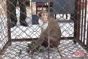 Bàn giao cá thể khỉ mốc quý hiếm để thả về vùng rừng tự nhiên ở Hà Tĩnh