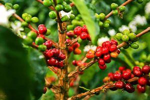 Giá cà phê hôm nay 25/2: Robusta tiếp tục tăng, trong nước cán mốc 33 triệu đồng/tấn