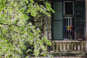 Chưa đến tháng Ba, Hà Nội đã chìm trong sắc hoa sưa nở trắng trời