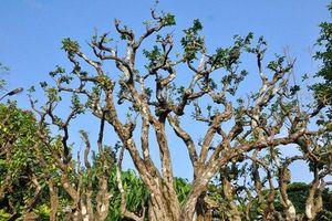 Chiêm ngưỡng cây khế cảnh 300 tuổi thế 'lạ'