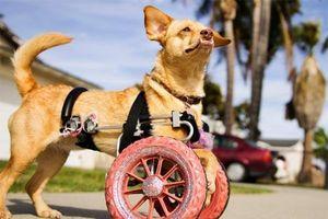 Ảnh đẹp: Lắp bánh xe cho chú chó liệt 2 chân