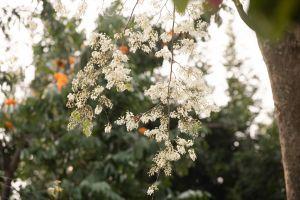 Đẹp nao lòng hoa sưa nở trắng trời Hà Nội