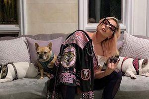 Lady Gaga treo giải nửa triệu USD tìm chó cưng bị bắt trộm
