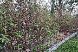 Thay vì vứt bỏ, người dân Huế tặng đào tết cho huyện A Lưới