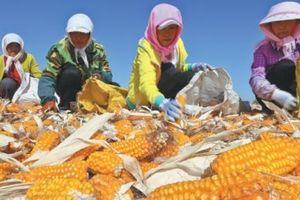 Thị trường ngũ cốc toàn cầu biến động mạnh do nhu cầu của Trung Quốc