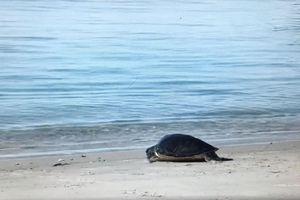 Thả thành công cá thể rùa biển về đại dương tại Cù Lao Chàm