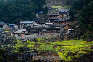Hoa cải nhuộm vàng núi đá Hà Giang