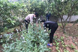 Trồng hàng trăm cây thuốc phiện trong vườn, người dân nói 'để làm rau ăn'