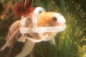 Kỳ lạ con cá phải 'mặc' áo phao để bơi
