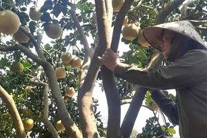 Bưởi ở Đồng Nai rớt giá thê thảm, nông dân khóc ròng